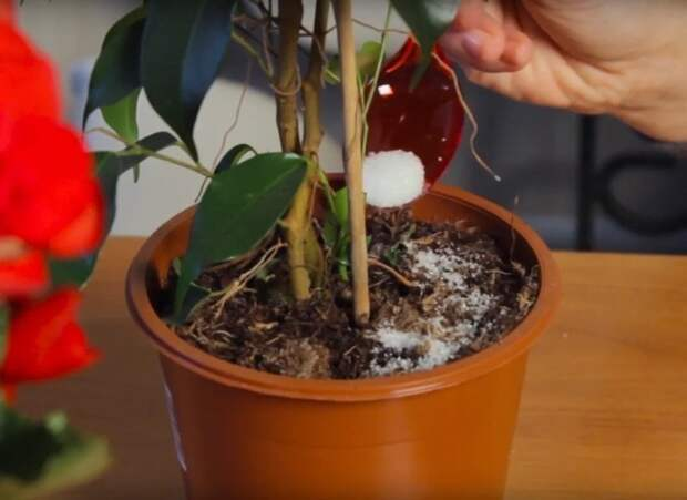 Всего 1 ч. л. удобрения, внесённого при поливе, комнатное растение пышно зацветёт