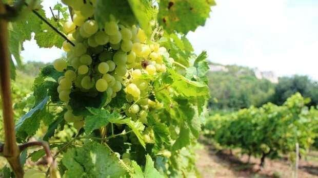 Сенатор Майоров заявил о развитии сферы виноделия в России
