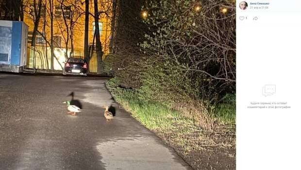 На Живописной утки гуляют и днем, и ночью