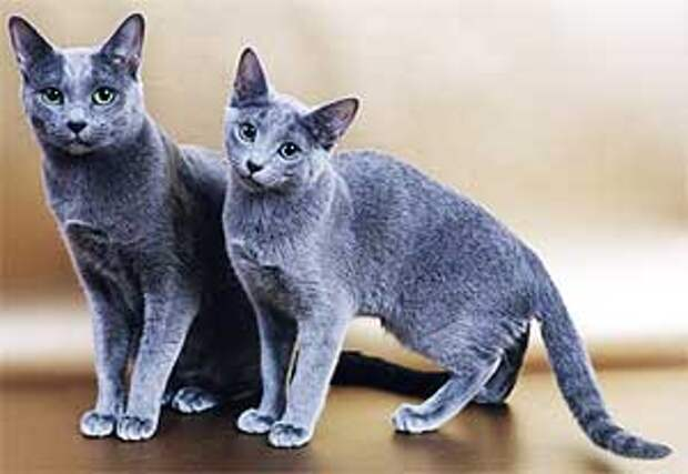 http://www.catgallery.ru/info/cats/blue-cats.jpg