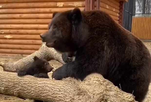 Видео дня: медведица из балахнинского зоопарка впервые вывела на прогулку медвежонка