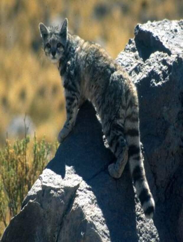 26 потрясающих пород кошек на грани исчезновения 1