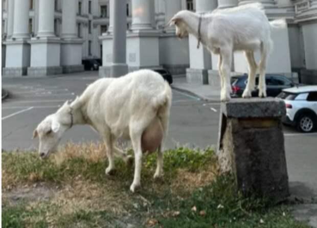 «Отлить в бронзе». У здания МИД Украины в Киеве вновь пасутся козы