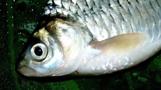 Искалеченную рыбу пытались провезти через границу Ростовской области в Украину