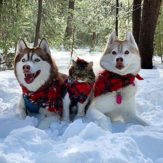 7 очаровательных фото котенка, которого вырастили хаски