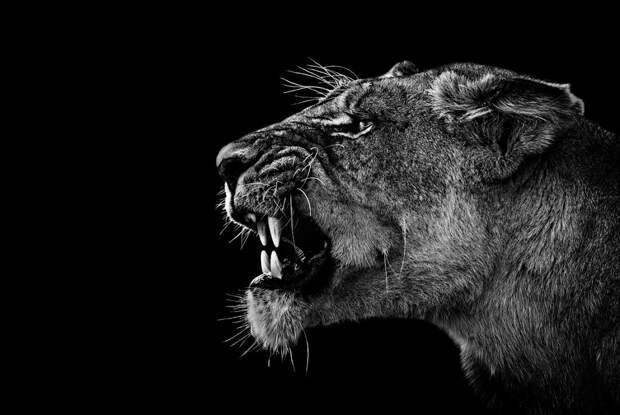 zhivotnye 1 Черно белые портреты диких животных