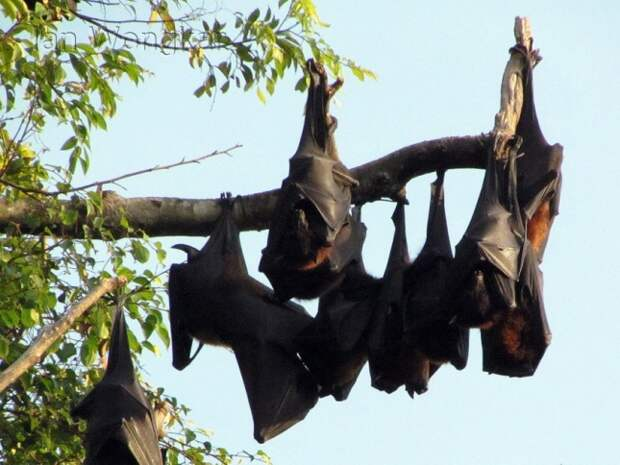 Калонг - самая большая летучая мышь в мире
