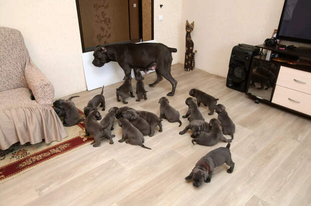 В Воронеже собака родила сразу 19 щенков
