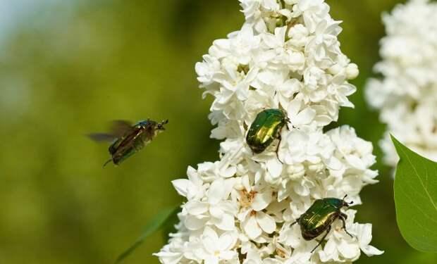 Бронзовка золотистая – красивое насекомое или опасный враг цветов?
