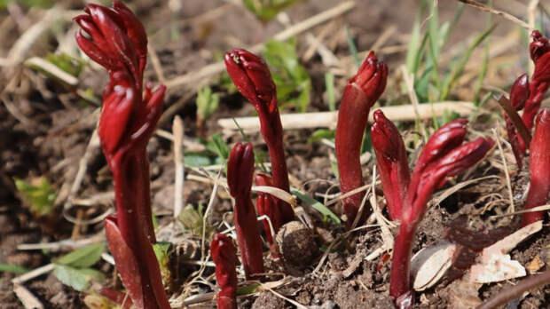 Пион зацветёт пышной шапкой, если провести эффективную подкормку в апреле
