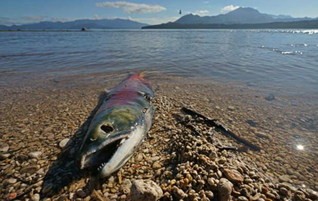 Берег водохранилища в Калмыкии заполонила мёртвая рыба (видео)