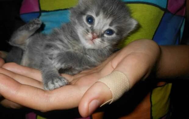 Сибирский котёнок, оказался на улице, так-как от него моя соседка.
