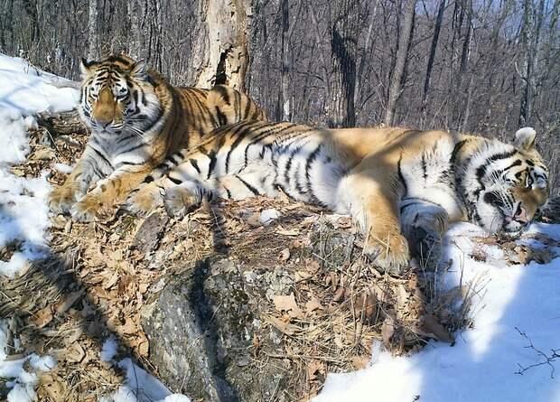 Вакцинация спасет амурских тигров от чумки