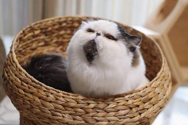 8 милых фото кота Зуу, который похож на недовольный шарик