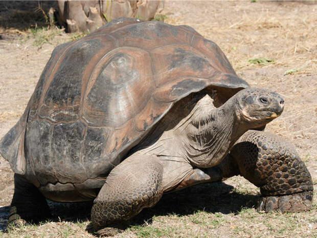 Умерла последняя на Земле гигантская галапагосская черепаха EastKorr - Восточный корреспондент