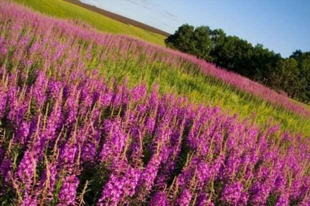 Загадочная поляна с идеальными участками Иван-чая на месте деревни, которую покинули жители за один день