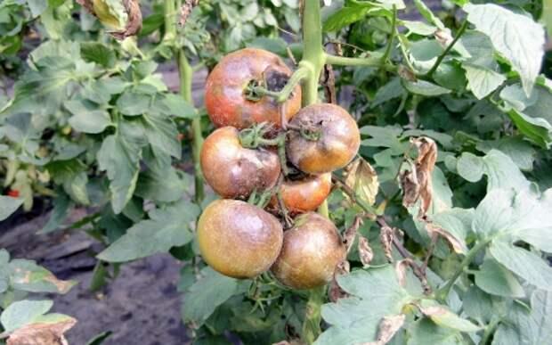 болезни томатов.jpg