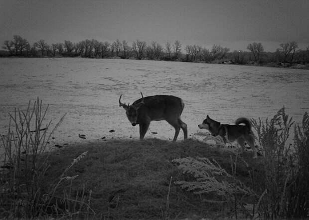 Неожиданная дружба: домашняя хаски и лесной олень неразлучны