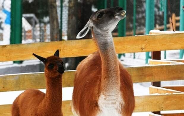 В Москве поселились самые редкие альпака
