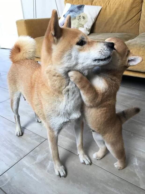 Мамочка, я тебя люблю! домашние животные, животные, мило, очаровательно, собаки, трогательно, шиба ину, щенки