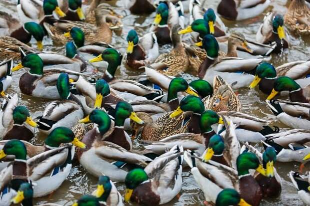 Уток по зиме считают: в парке «Москворецкий» проведут зимний учёт водоплавающих птиц