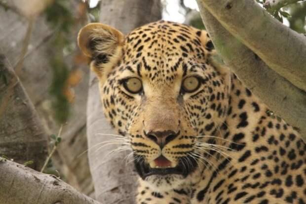 А теперь мы побреем леопарда животные, заняться не чем, кошки, полоски, тигры, ученые, шерсть