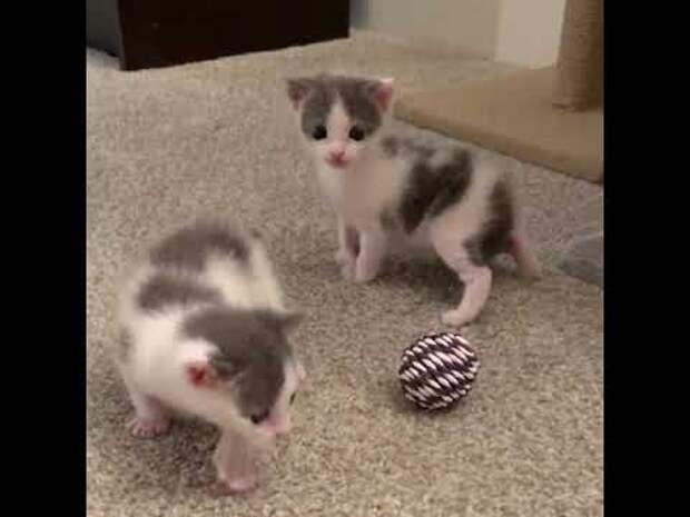 Котята-близнецы не желают разлучаться – они могут быть счастливы и здоровы только вместе