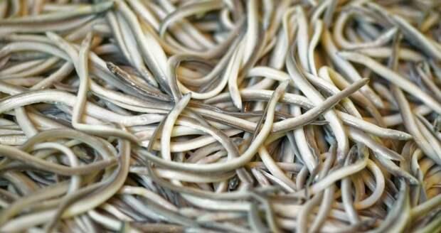 Без вкуса и цвета, стоит тысячу евро: как мальки речного угря превратились из корма для животных в деликатес