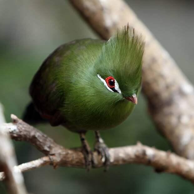 Яркую окраску перьям придают пигменты турацин и туравердин, которые одновременно встречаются только у этого вида.