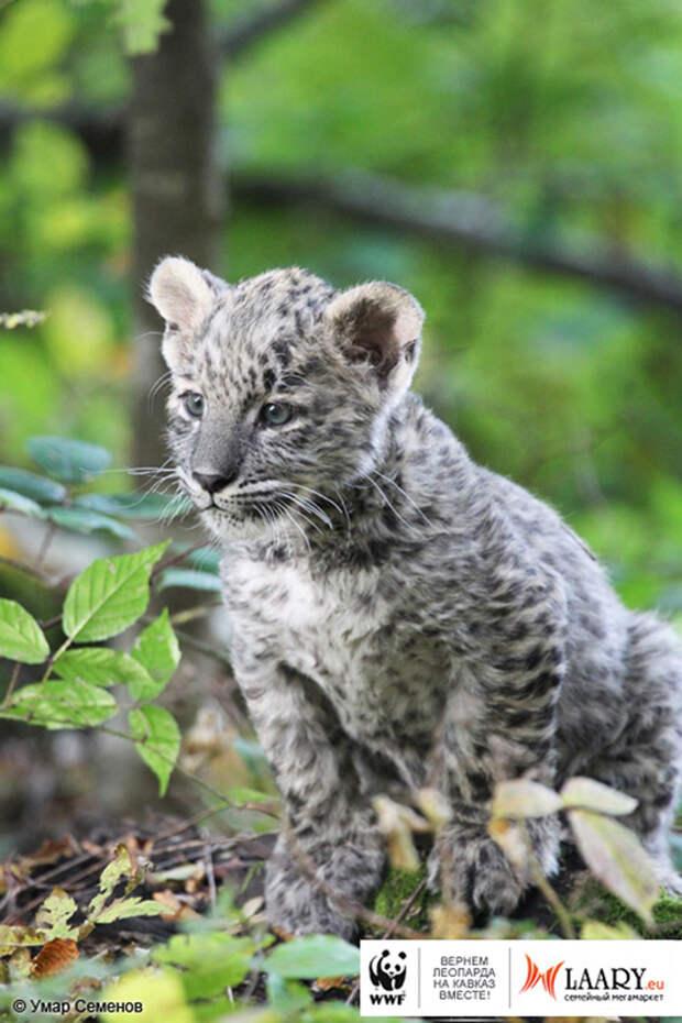 2 История Леопарда Уникальный представитель исчезающего вида