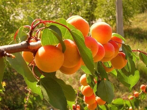 Чтобы рос абрикос!