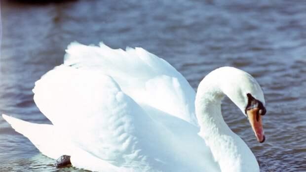 Лебединая верность: Скорбящая птица на час задержала десятки поездов в ФРГ