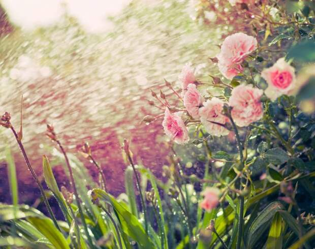 Защита роз от вредителей