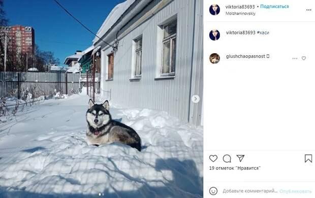 Фото дня: хаски в Молжаниновском доволен количеством снега