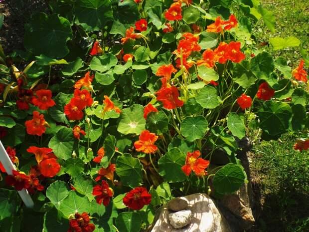 Цветущий огород, или Сожительство овощей и цветов на грядке
