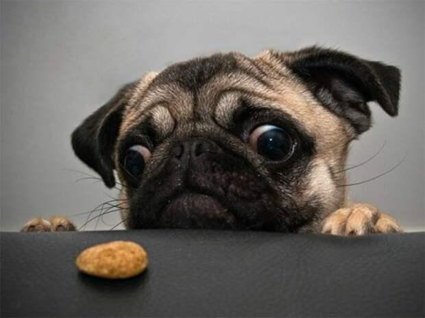 Собаки, которые охотятся за вашей едой