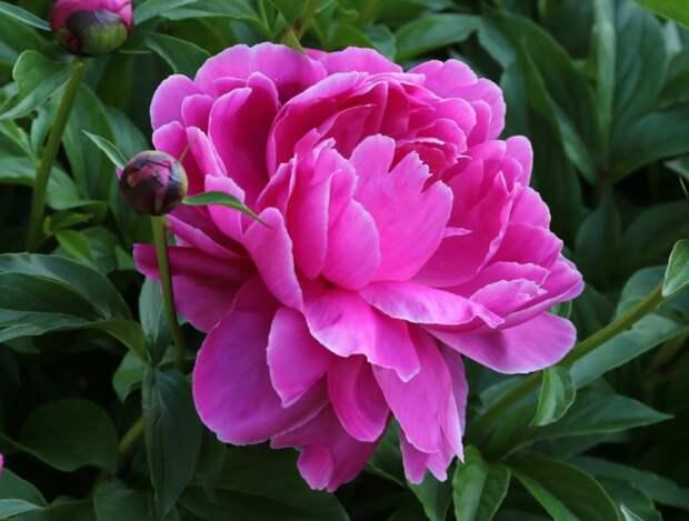 Божественные пионы: 6 полезных советов, как вырастить много цветов