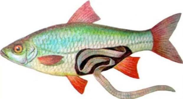 Солитер в рыбе: можно ли есть солитерную рыбу, опасность для человека.