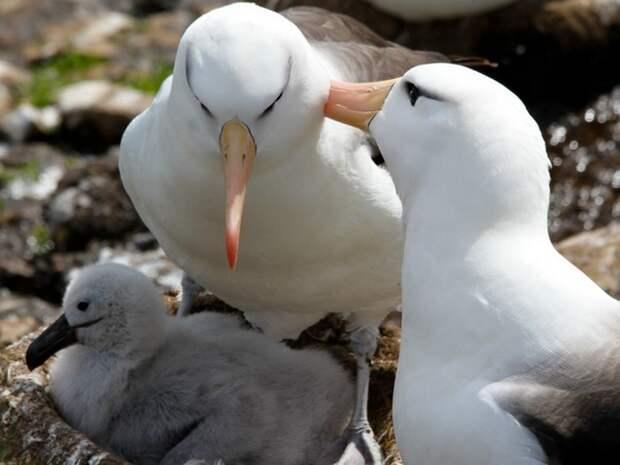 Альбатрос-птица-Описание-образ-жизни-и-виды-альбатроса-6