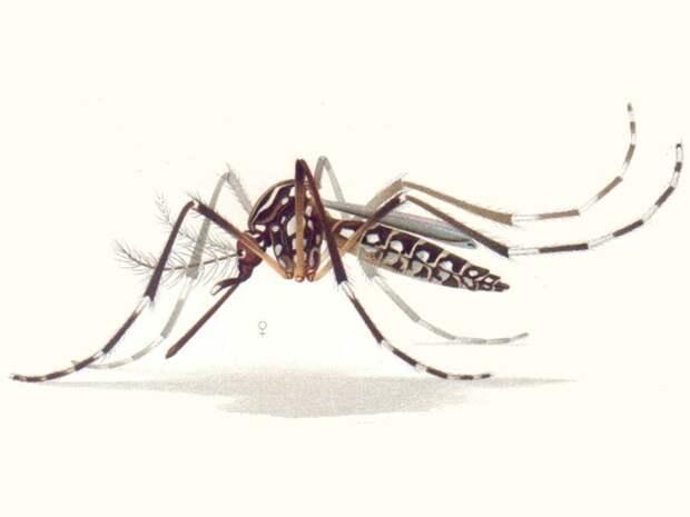 Генетически модифицированные комары выпущены во Флориде