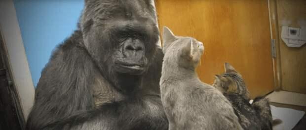 Невероятный эксперимент с гориллой, которая почти стала человеком