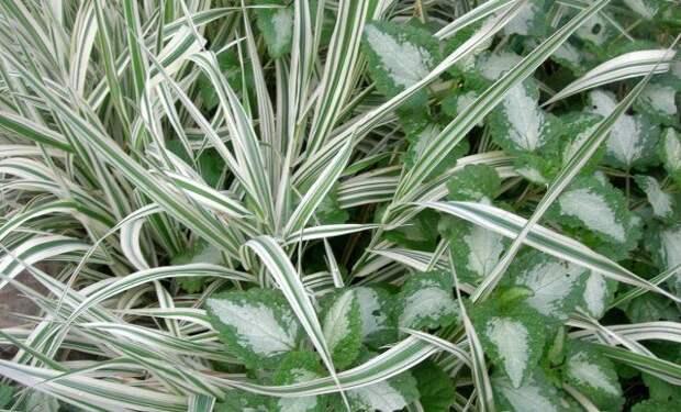 Декоративные злаки для средней полосы – эти растения точно не вымерзнут зимой!