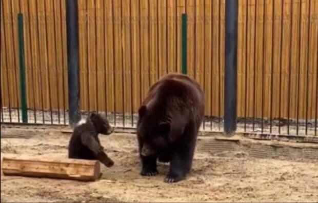 «Прогулка медвежьей семьи»: как проходят будни медведицы Маши, переехавшей в Балахну