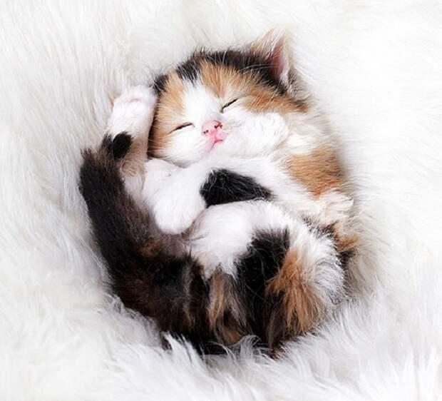 Триколорные представители семейства кошачьих приносят счастья.