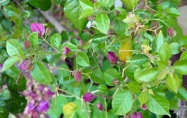 Бугенвиллея. Фото с сайта joyusgarden.com