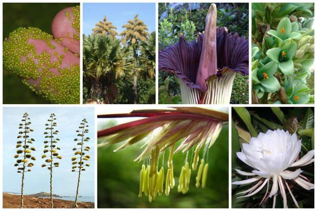 Монокарпические растения — растения, которые размножаются (цветут или плодоносят) только один раз в течение жизни. В ботанике для монокарпических растений также используются фактически синонимичные термины «одноплодные растения», или монокарпики интересное, природа, раз в жизни, факты, фауна, флора, цветы