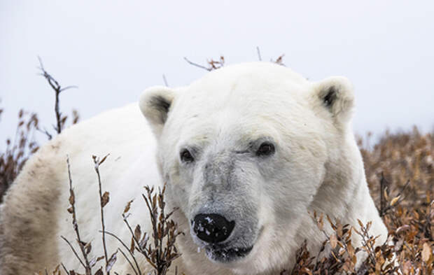 В Москву из Якутии доставят на лечение белую медведицу