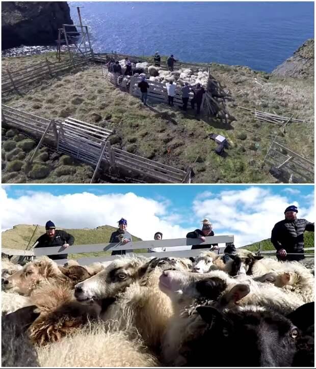 Стадо овец стало дополнительным развлечением для путешественников (о.Эдлидаэй, Исландия).   Фото: youtube.com/ © Torz Film.