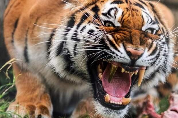 Впервые в Европе тигрице провели протезирование зубов