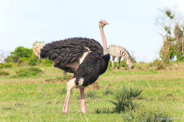 12 интересных фактов о страусе